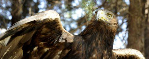 México creará centro de protección al águila real, símbolo del país