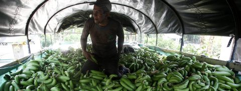 Colombian coffee inspires banana growers to reclaim land lost to violence