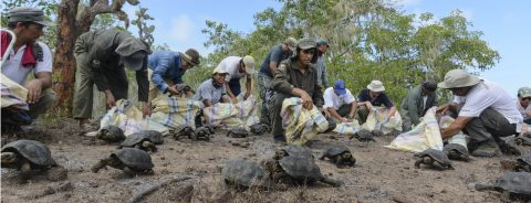 190 Giant tortoises released in Galapagos Islands