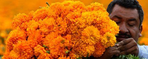 México importa la semilla de su tradicional flor para el Día de Muertos