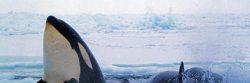 Grupo ambientalista demanda a Gobierno por no proteger un hábitat de orcas
