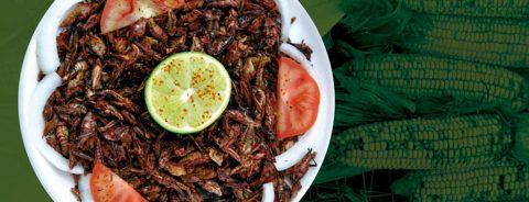 Chapulín de milpa podría ser opción para combatir desnutrición y obesidad