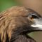 Protecting Mexico's golden eagle suffering from lack of funding