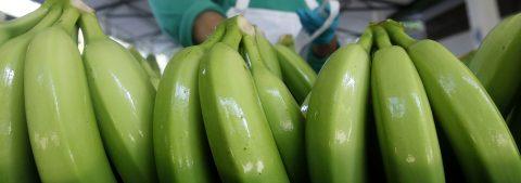 Investigador diseña un alimento contra la diabetes a base de banano verde
