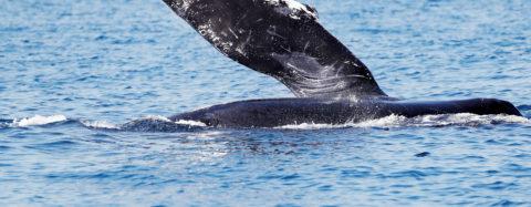 La ballena jorobada, una acróbata de los océanos, visita México un año más